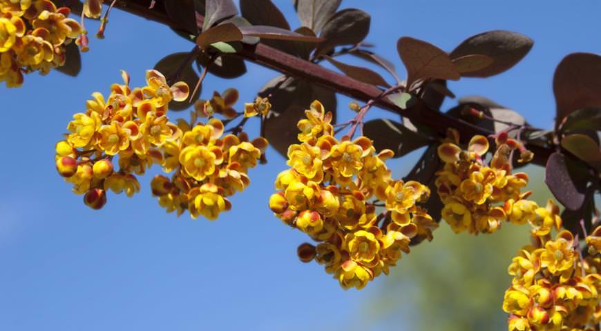 Медоносное и лечебное растение барбарис имеет многие целебные свойства и очень активно используется для приготовления лекарственных средств